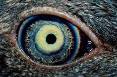 Ojo siniestro de un Cuervo.jpg